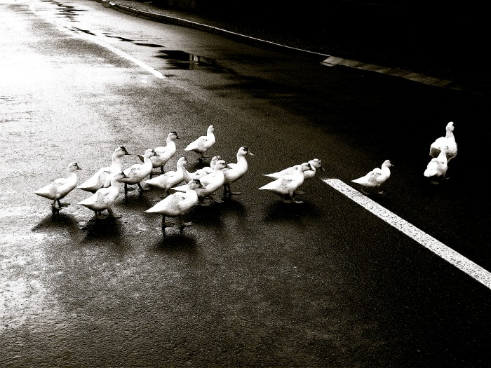 Duck-Crossing-Leader-Choice